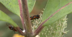 Milkweed Bug Feeding, Another Crawling in Foreground