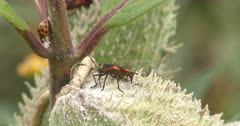 Large Milkweed Bug Feeding, Lady Beetles Enter on Plant Stem, Exits