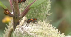 Milkweed Bug Feeding, Single Lady Beetle Enters, Exits
