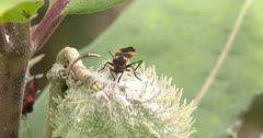 Large Milkweed Bug, Feeding on Milkweed Pod