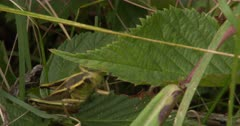 Two-Striped Grasshopper Climbing, Lets go of Leaf
