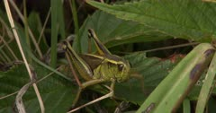 Two-Striped Grasshopper Resting, Watching, Breathing Hard