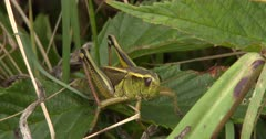 Two-Striped Grasshopper Resting, Waiting