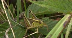 Two-Striped Grasshopper Resting, Moves Legs Slightly