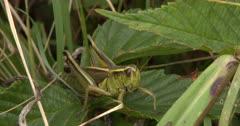 Two-Striped Grasshopper, Watchful