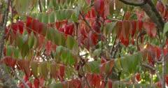Staghorn Sumac, Autumn Colors