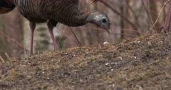 Wild Turkeys Feeding, CU Two Hens
