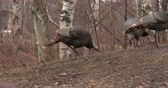 Wild Turkeys Feeding, Hens