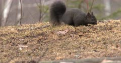 Gray Squirrel Feeding, Dark Phase Almost Black