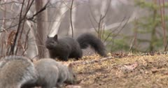 Dark Phase Gray Squirrel Feeding, Moves Toward Another Lighter Color Squirrel, Both Exit