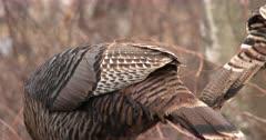 CU Feathers, Tails of Feeding Wild Turkeys