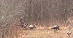 Flock of Wild Turkey Hens, One Tom Turkey Displaying With Head Raised