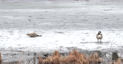 Canada Geese Pre-Nesting Phase, Hen Hiding, Gander Sleeping