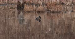 Hooded Merganser Preening, Floating in Pond