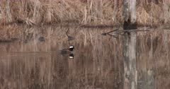 Hooded Merganser Swimming in Pond, Exits