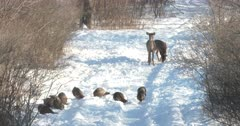 Wild Turkeys Feeding, White-tail Deer Doe Nervous, Stomps Foot, Fawn Curious