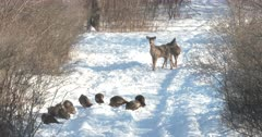 Wild Turkeys Feeding, White-tail Deer Doe Nervous, Moves Off, Fawn Curious