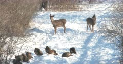 Wild Turkeys Feeding, White-tail Deer Doe And Fawn Curious