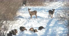 Wild Turkeys Feeding, White-tail Deer Doe And Fawn Move Closer, Curious