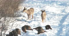 Wild Turkeys Feeding, White-tail Deer Doe Moves Off, Fawn Stays, Curious