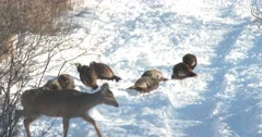 Wild Turkeys Feeding, White-tail Deer Doe Enters From Left, Curious