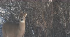 White-tailed Deer, Doe, Snow Blowing, Moves Off, Exits
