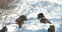 Wild Turkeys Feeding in Snow, Pan to White-Tailed Deer, Doe Watching