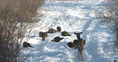 Wild Turkeys Feeding in Snow, White-Tailed Deer, Doe Watching