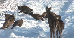 Wild Turkeys Feeding in Snow, Curious White-Tailed Deer, Doe and Fawn Watching
