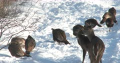 Curious White-Tailed Deer, Doe and Fawn Watching Wild Turkeys Feeding in Snow