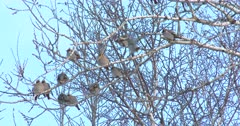 Bohemian Waxwings in Poplar Tree, Puffed up in Cold Weather