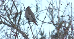 Bohemian Waxwing Moving About, Feeding in Cranberry Bush