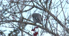Bohemian Waxwing Feeding in Cranberries in Winter