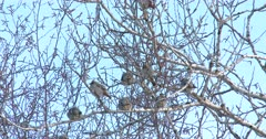 Bohemian Waxwings High in Poplar Tree, Cold Winter Day