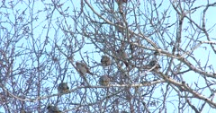 Bohemian Waxwings Moving About High in Poplar Tree, Cold Winter Day