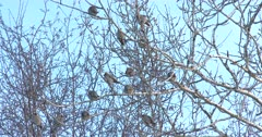 Bohemian Waxwings Preening, Warming, High in Poplar Tree, Cold Winter Day