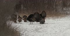 Two Tom Wild Turkeys Competing, Seeking Attention From Hens