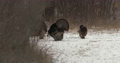 Two Tom Wild Turkeys Competing, Vying For Attention From Hens