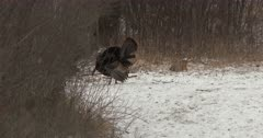 Tom Wild Turkeys Vying For Attention From Hens, Exit