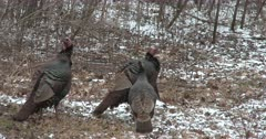 Wild Tom Turkeys and Single Hen, Resting in Woodland Setting, Hen Sees Something, Becomes Alarmed