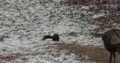Black Squirrel, Wild Turkey Moves Toward, Feeding