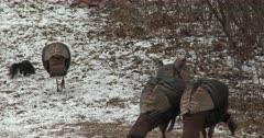 Black Squirrel Feeding Among Wild Turkeys in Winter Setting