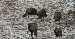 Small Flock of Wild Turkeys Feeding, Winter Setting in Deciduous Woods