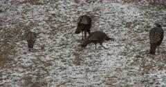 Small Flock of Wild Turkeys Feeding, Winter Setting in Deciduous Woods, ZO to WA