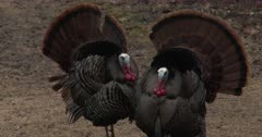 Intimidation, Two Wild Turkey Toms, Vying For Attention, Competing
