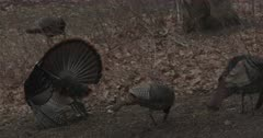Wild Turkey, Tom with Hens, Two Other Toms Arrive to Compete