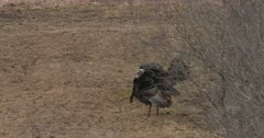 Wild Turkeys, Toms Displaying, Move Off After Departing Hens