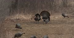 Two Wild Turkey Toms, Vying For Attention, Competing