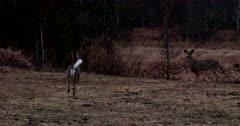 White-tailed Deer, Doe Running Off at Dawn, Tail Waving