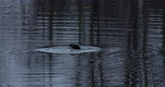 Hooded Merganser at Dawn, Dives